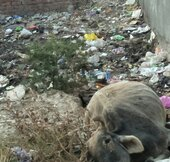 garbage dump and animal died