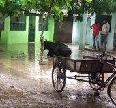 Gaay (cow) beemar hai